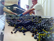 grapes being sorted during Crush